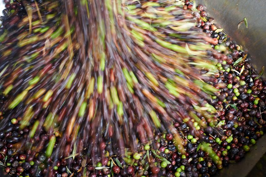 olive-for-oils
